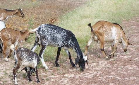 Chèvres en divagation Guie Burkina