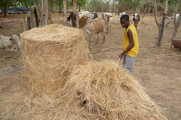 Foin en balle ronde Guie Burkina