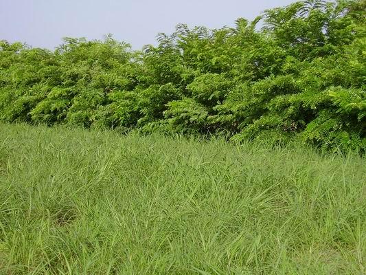 Pâture bocagère Burkina Faso